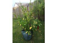Cherry Laurel Evergreens
