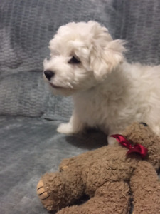 CKC Registered Havanese - Small dogs with Big Personalities