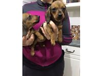 KC Registered Miniature Dachshund Puppies for sale