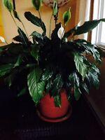 Plantes de grand format à peu de frais