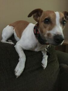 Lost Jack Russel in Grand Bend