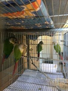 Breeding greencheek conures