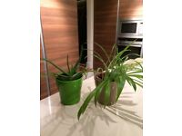 2 matching ceramic plant pots with a Spider Plant and Aloe Plant. Collect Fulham