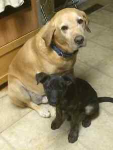 Missing - large male yellow Lab and black Shepard cross puppy