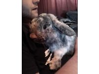 Martin. 3 year old male lop.