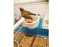 2 male black cheeked zebra finches WITH CAGE