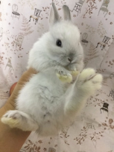 Pure breed Netherland dwarf bunny rabbit rare colour blue eyes