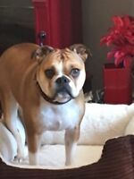 looking for someone with a male bulldog