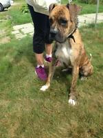 """Adult Male Dog - Boxer-Bull Terrier: """"Yager"""""""