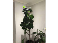 Indoor Plant - Rubber Tree For QUick Sale