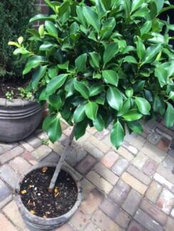 Topiary Ficus in Ornate Pot