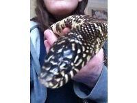 Florida king snake