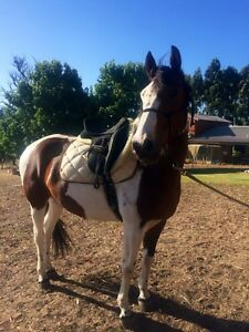 Apache, 9 yo 15,2, Clydesdale cross, gelding Harvey Harvey Area Preview