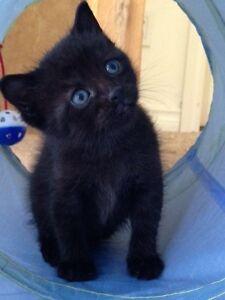 Super Adorable Mix! Bengal-Manx Kittens