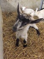 Goat Farm Needs 1-2 Full Time Team Members