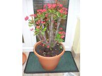 Indoor Crown of thorns (Euphoroia splenders?)