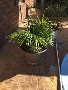 Various garden pots - mature plants for instant garden Duncraig Joondalup Area Preview