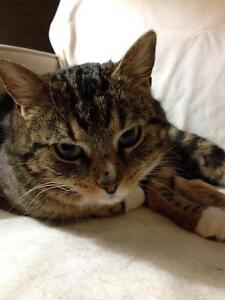 """Young Female Cat - Domestic Short Hair: """"Daisy"""""""