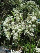 Snowflake Euphorbia Cornubia Logan Area Preview