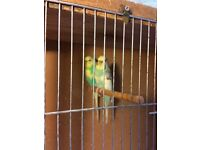 Adult pair of Budgies for sale