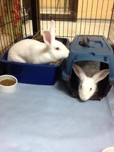 "Adult Female Rabbit - New Zealand: ""Prancer and Dancer"" Cambridge Kitchener Area image 1"