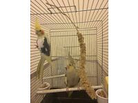 Couple Cockatiels, Big Cage, Nest and Feed For Sale