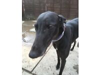 Greyhounds wanting loving pet homes in Lincolnshire and surrounding areas