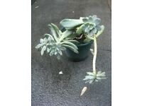 Plant for sale . Probably Pachyphytum