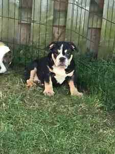 English Bulldog Puppies Ready to Go