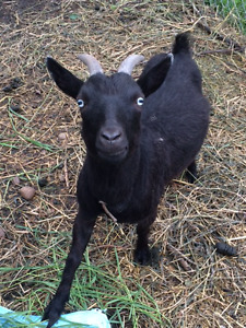 2 yr old female pgymy goat, with her two female babies! **Ponoka
