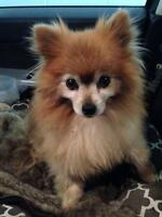 "Senior Female Dog - Pomeranian: ""SASHA"""