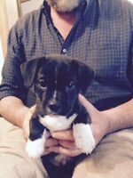 FOR SALE - Puppies - Jack Russell Cross
