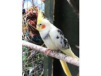 Birds for sale - Gumtree