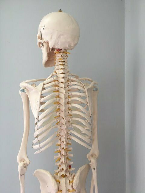 what is a anatomical skeleton