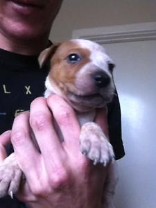 7 American staffy x Staffordshire puppies Davoren Park Playford Area Preview