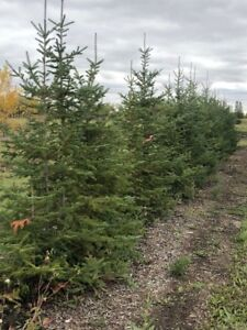 Arbour Crest Tree Services- Evergreen Trees For Sale!