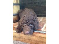 Stunning f1b Labradoodles for sale REDUCED LAST 2