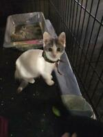Baby Male  - Domestic Short Hair - gray and white-Siamese