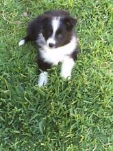 Boader Collie Pups for sale Tenterfield Tenterfield Area Preview