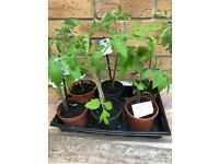 6 x Tomato Plants, Collect from Fulham