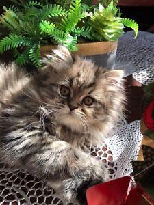 Persian Himalayan Male Kitten