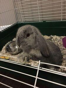 Ash Grey Holland Lop Bunny w/Cage & Accessories