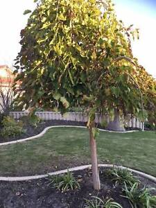 Weeping mulberry Tree Port Kennedy Rockingham Area Preview