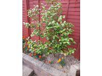 Garden Shrubs with pink or white flowers seasonally & Peris plant