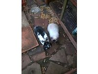 cashmere lop and french lop