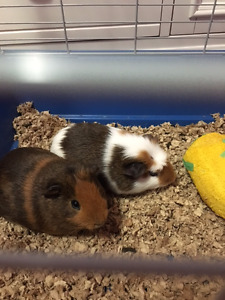 2 Male Guinea pigs for sale (Includes starter kit/food)