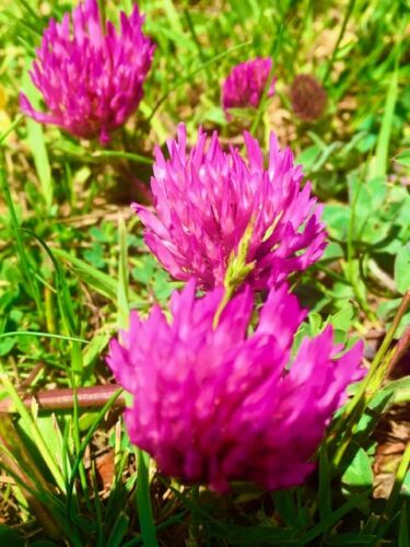 Red Clover Seeds   Trifolium pratense  Wildflowers  Free Complimentary Bookmark