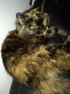 "KLAWS: LOST  Kent St W/Albert St,Lindsay. ""Lily"", female torti"