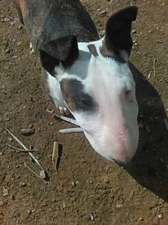 MISSING PUREBRED BULL TERRIER Glengarry West Tamar Preview