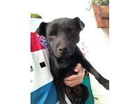 Patterdale terrier border lakeland Russell fell bull wheaten dog pup